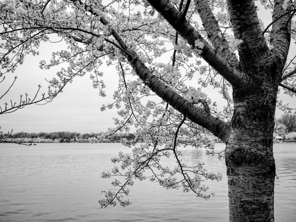 blossoms-beside-the-tidal-basin-P4100022