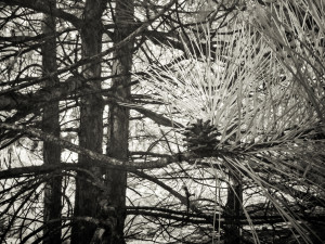Infrared photograph, details of pine growing in an abandoned gravel pit.